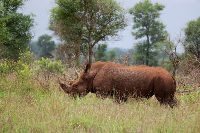 Download White Rhinoceros (Ceratotherium Simum) Stock Photo - Image: 42072770