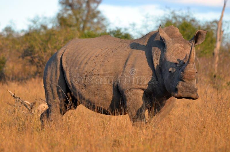 White rhinoceros (Ceratotherium simum). White rhinoceros or square-lipped rhinoceros (Ceratotherium simum) in Kruger National Park, South Africa stock image