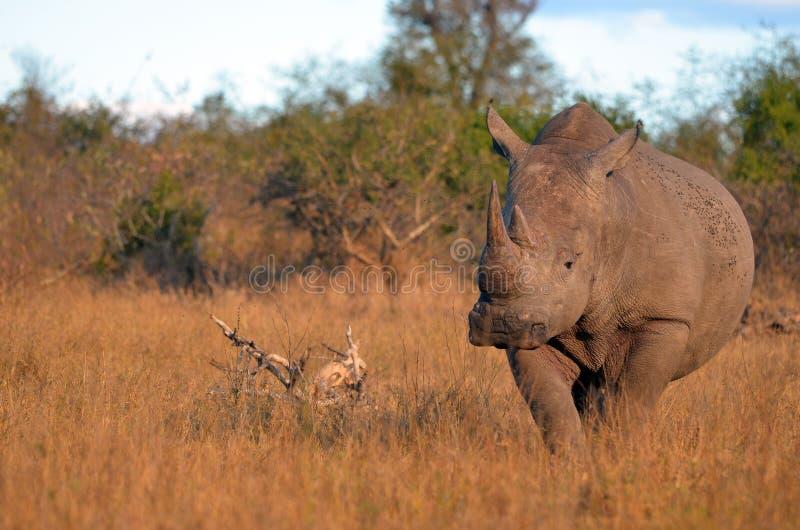White rhinoceros (Ceratotherium simum). White rhinoceros or square-lipped rhinoceros (Ceratotherium simum) in Kruger National Park, South Africa stock photos