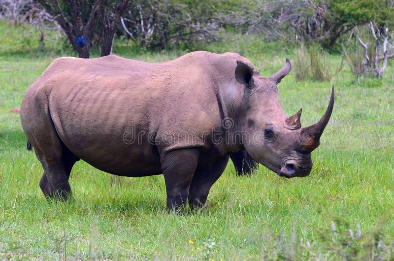 White rhinoceros (Ceratotherium simum). White rhinoceros or square-lipped rhinoceros (Ceratotherium simum) in Kruger National Park, South Africa stock photo