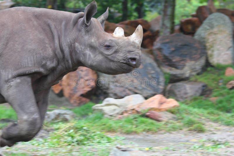 White rhinoceros Ceratotherium simum. The white rhinoceros or square-lipped rhinoceros Ceratotherium simum is the largest extant species of rhinoceros royalty free stock photo