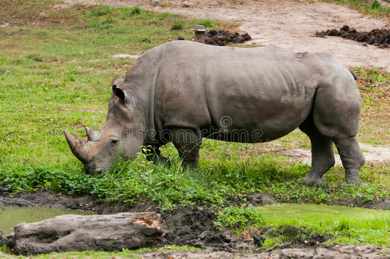 The white rhinoceros(Ceratotherium simum) royalty free stock photo