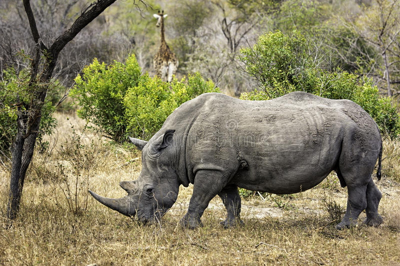 White rhinoceros (Ceratotherium simum) royalty free stock photography