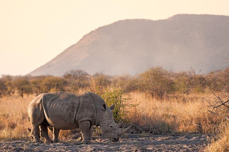 White rhinoceros Ceratotherium simum stock images