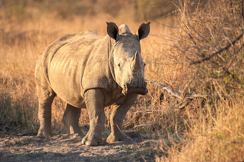 A White rhinoceros - Ceratotherium simum. The white rhinoceros or square-lipped rhinoceros Ceratotherium simum is the largest species of rhinoceros that exists stock image