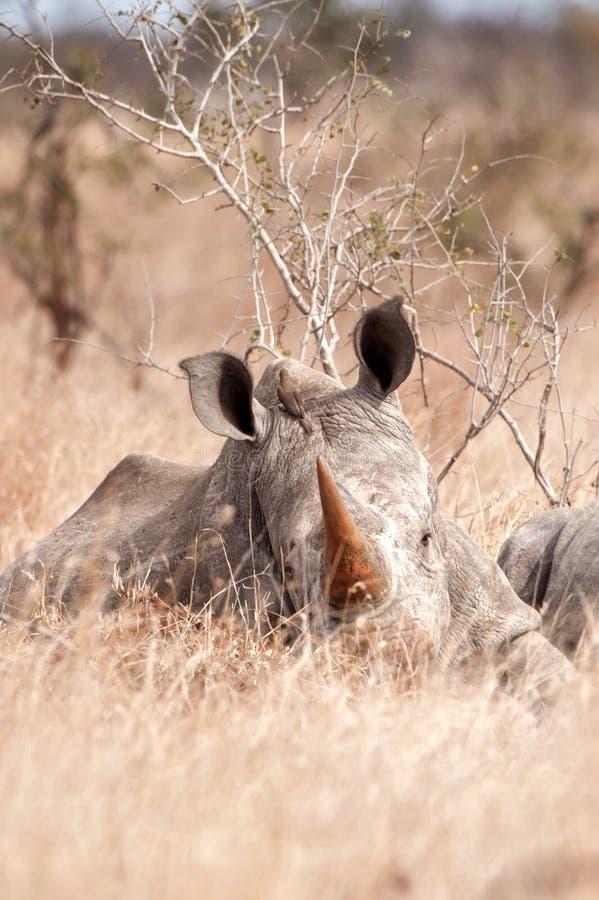 White Rhinoceros (Ceratotherium simum). The White Rhinoceros or Square-lipped rhinoceros (Ceratotherium simum) is one of the five species of rhinoceros that stock image