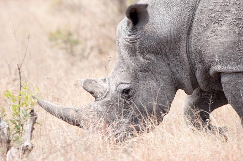 White Rhinoceros (Ceratotherium simum). The White Rhinoceros or Square-lipped rhinoceros (Ceratotherium simum) is one of the five species of rhinoceros that stock photos