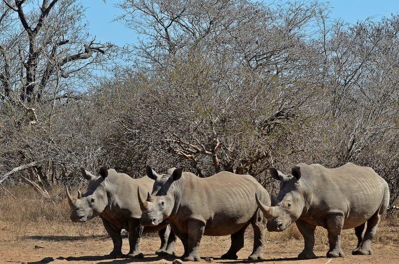 White rhinoceros (Ceratotherium simum). Three white rhinoceros or square-lipped rhinoceros (Ceratotherium simum) in Kruger National Park royalty free stock photography