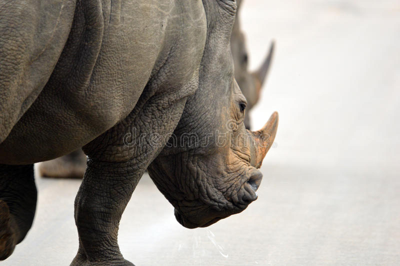 White rhinoceros (Ceratotherium simum). stock photography