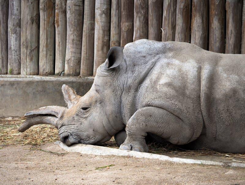 White Rhinoceros Or Ceratotherium Simum royalty free stock images