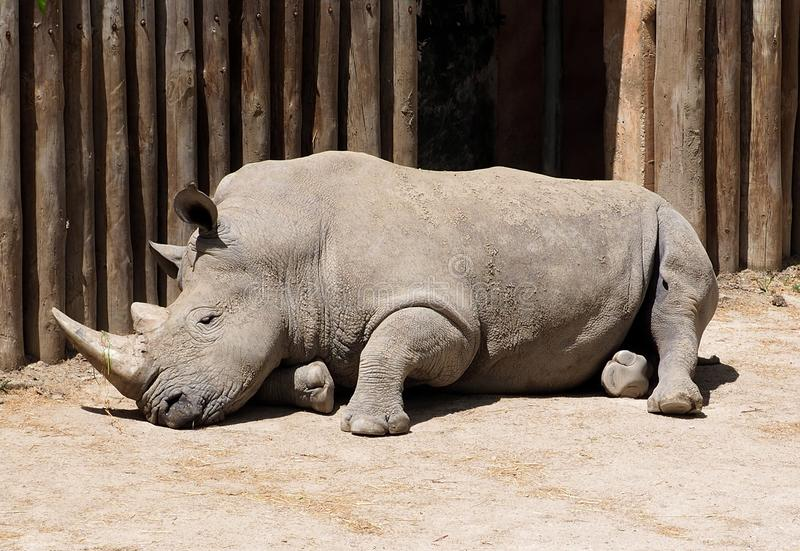White Rhinoceros Or Ceratotherium Simum. Resting in enclosed compound at Lisbon Zoo Lisbon Portugal stock photos