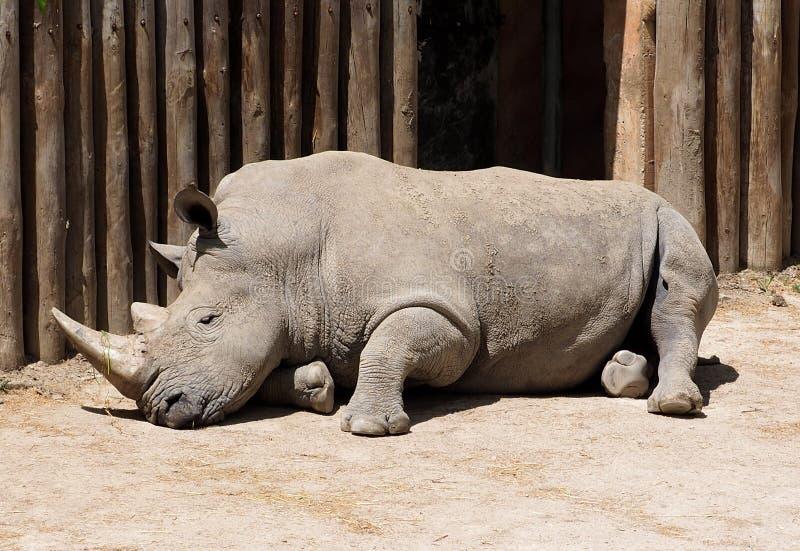 White Rhinoceros Or Ceratotherium Simum stock photos