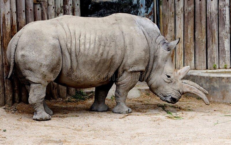 White Rhinoceros Or Ceratotherium Simum stock photography