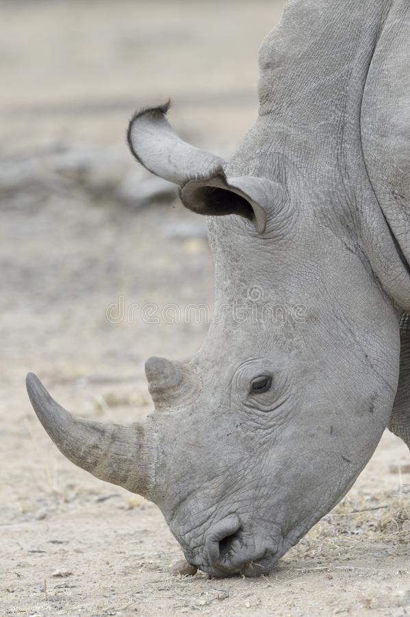 White rhinoceros eating, side view. royalty free stock photos