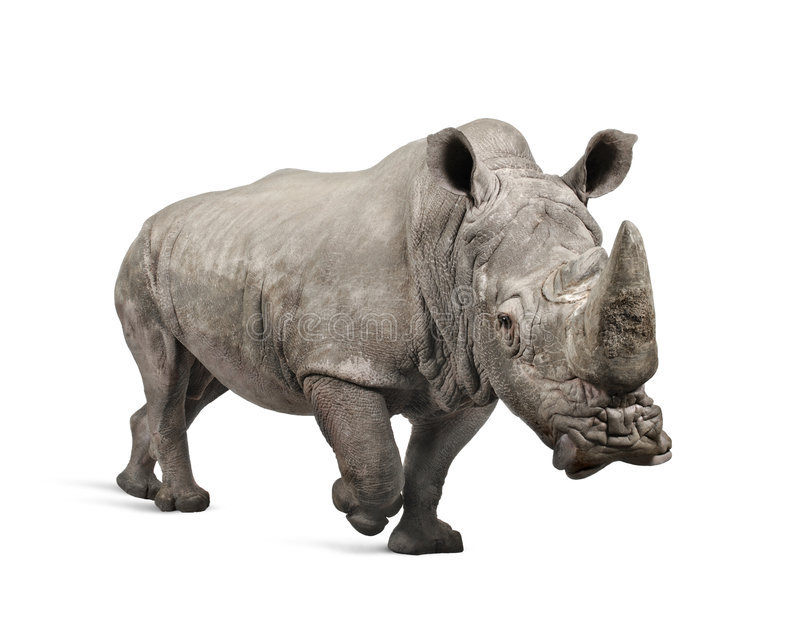 White Rhinoceros charging - Ceratotherium simum (. White Rhinoceros or Square-lipped rhinoceros - Ceratotherium simum ( +/- 10 years) in front of a white stock photo