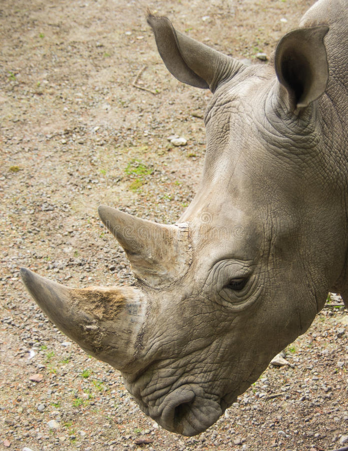 White rhinoceros in close-up stock photo