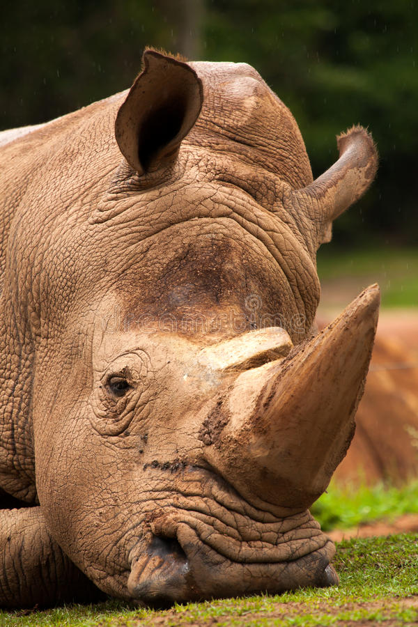 White Rhinoceros closeup. In brazilian zoo royalty free stock photography