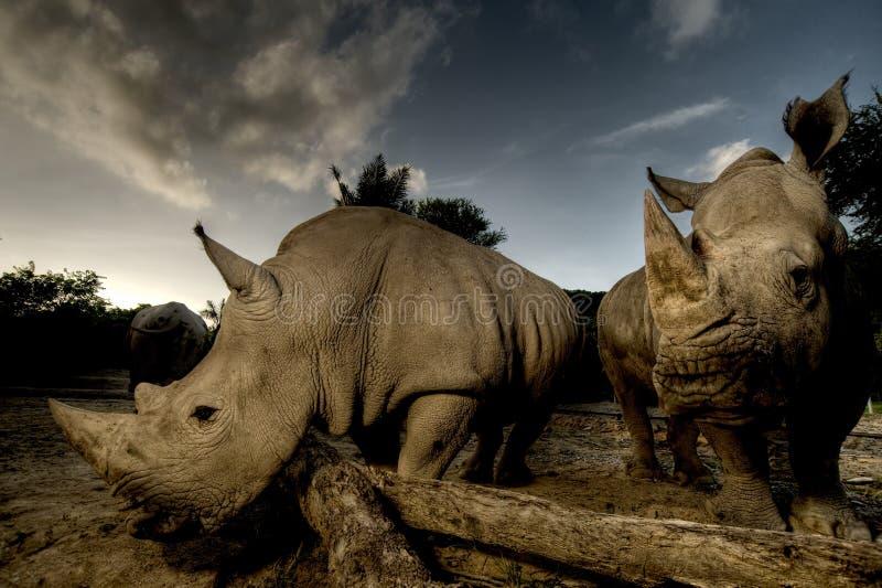 Download White rhinoceros stock photo. Image of rhino, mammal - 31998900