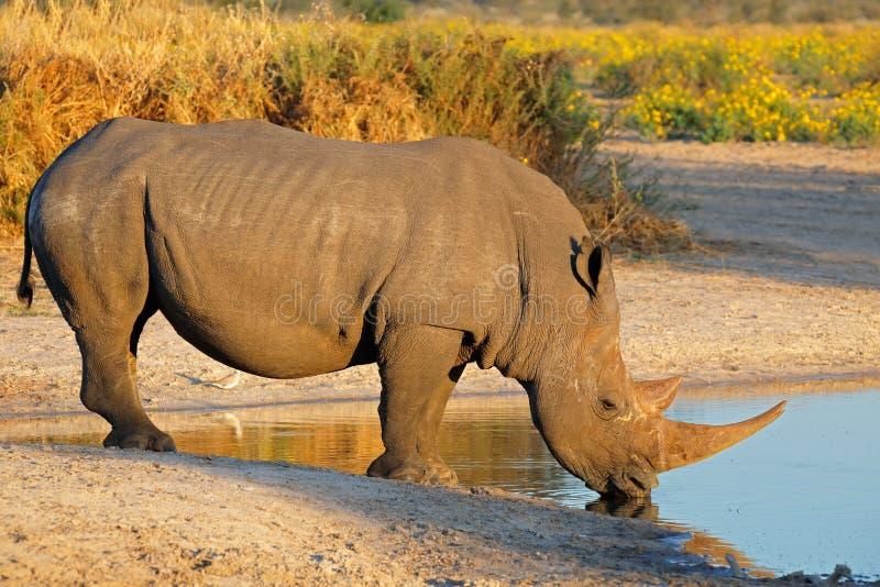 White rhinoceros drinking. A white rhinoceros (Ceratotherium simum) drinking water, South Africa royalty free stock image