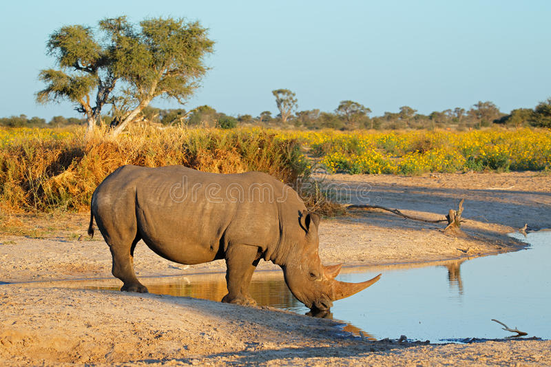 Download White rhinoceros drinking stock photo. Image of african - 42667556