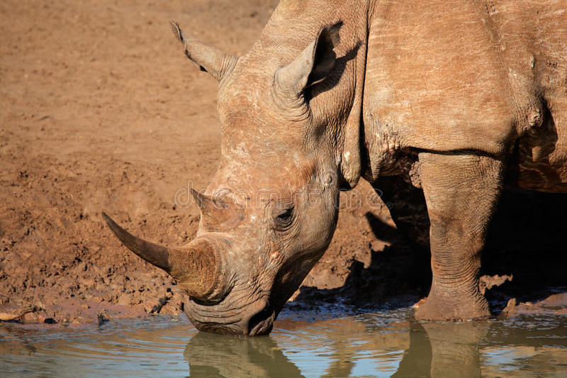 White rhinoceros drinking water. White (square-lipped) rhinoceros (Ceratotherium simum) drinking water, Mkuze game reserve, South Africa stock photography