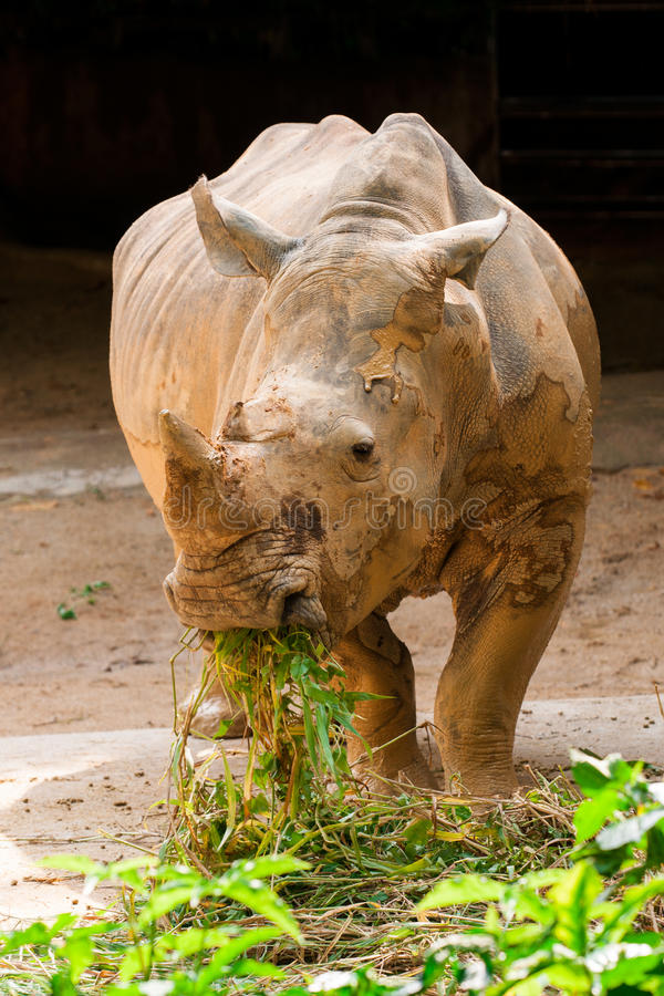 White rhinoceros eating royalty free stock photo