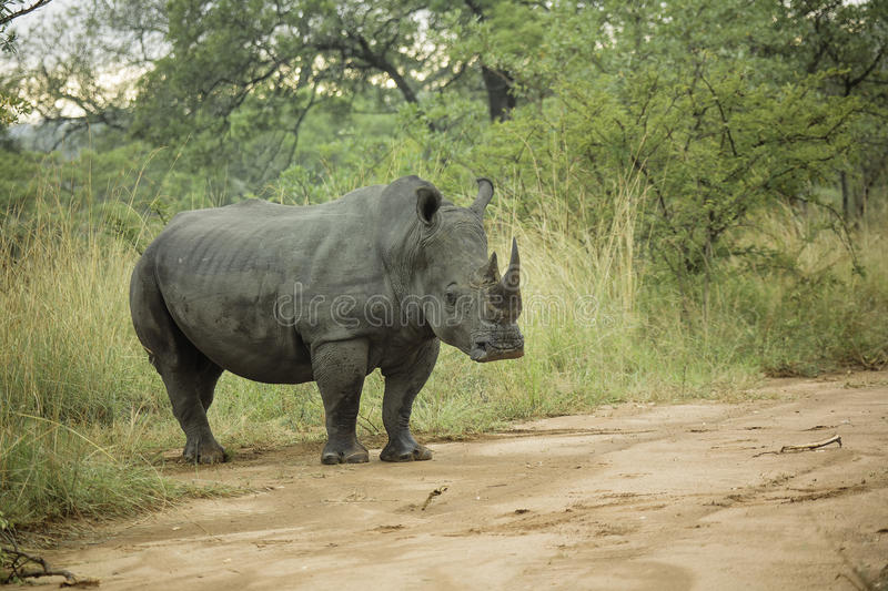 White Rhinoceros. Endangered White Rhinoceros from South Africa royalty free stock image