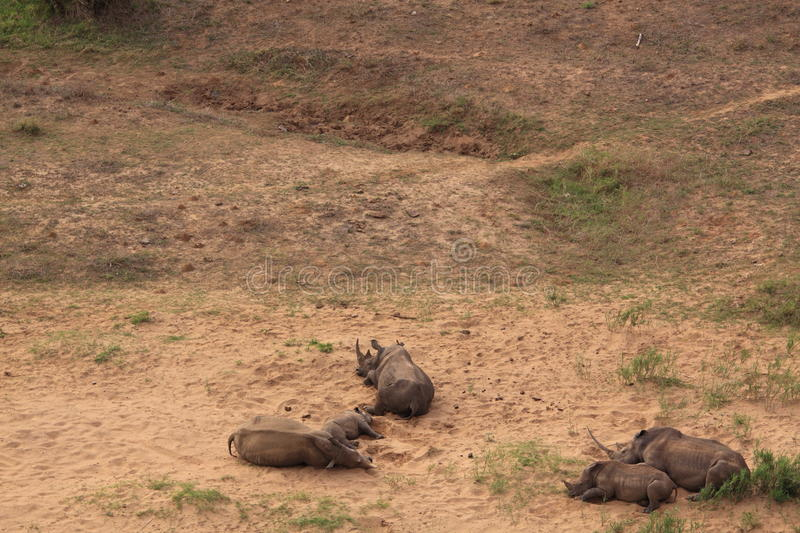White rhinoceros family sleeping stock photos