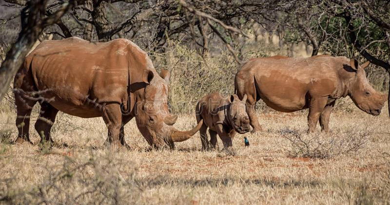 White Rhino Family. A White Rhinoceros family in Southern African savanna stock photo