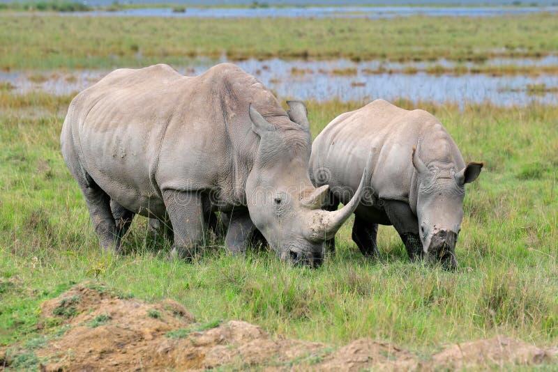 White rhinoceros feeding. White rhinoceros (Ceratotherium simum) feeding in open grassland, Lake Nakuru National Park, Kenya royalty free stock photos