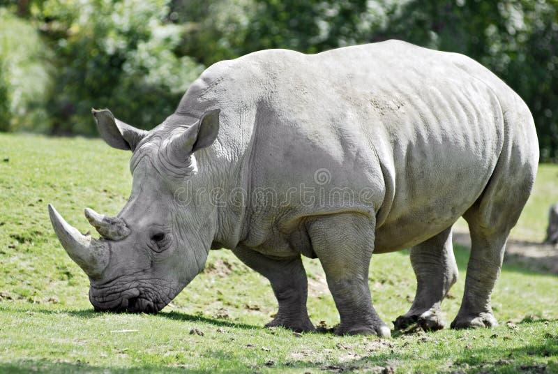 White rhinoceros grazing. Closeup of profile white rhinoceros (Ceratotherium simum) walking on grass royalty free stock photos