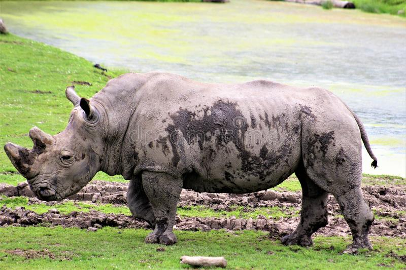 Parc Park Safari, Hemmingford, Quebec, Canada. White Rhinoceros in green grass at the Parc Park Safari, located in Hemmingford, Quebec, Canada royalty free stock images