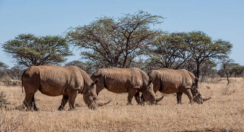 White Rhinoceros Group. A group of White Rhinoceros in Southern African savanna stock photography