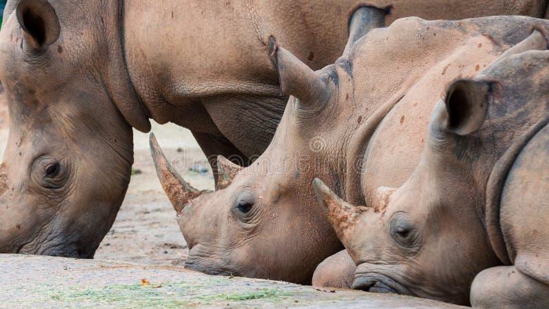 White Rhinoceros. A group of white rhinoceroses (Ceratotherium simum) rest royalty free stock photos