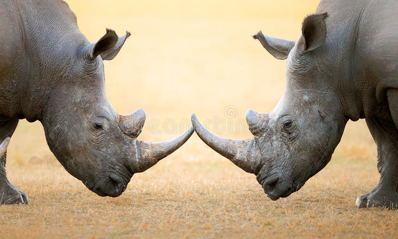 White Rhinoceros head to head. White Rhinoceros (Ceratotherium Simum) head to head - Kruger National Park (South Africa