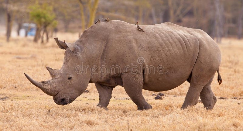 White Rhinoceros with Oxpeckers. A White Rhinoceros (Ceratotherium simum) walks in the Lake Nakuru national park with several Oxpeckers (Buphagus) riding on it's stock photo