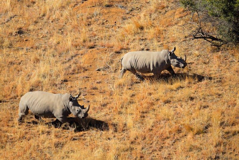 White rhinoceros pair. Aerial view of a pair of white rhinoceros (Ceratotherium simum) in grassland, South Africa stock photo