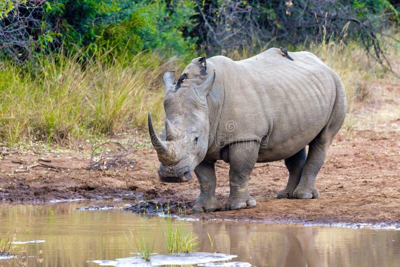 White rhinoceros Pilanesberg, South Africa safari wildlife. Endangered species of white rhinoceros on small water in Pilanesberg National Park & Game Reserve royalty free stock photography