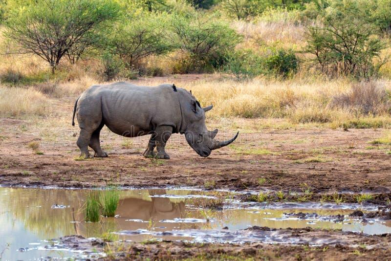 White rhinoceros Pilanesberg, South Africa safari wildlife. Endangered species of white rhinoceros on small water in Pilanesberg National Park & Game Reserve stock image