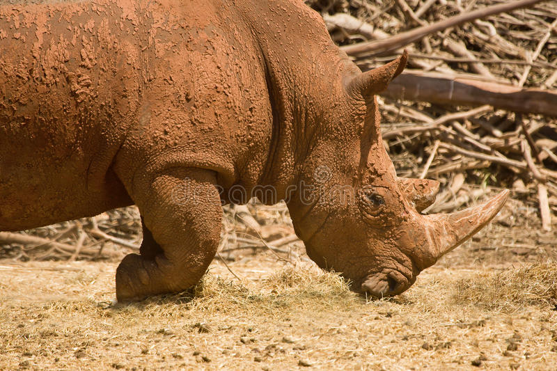 Download White Rhinoceros portrait stock image. Image of horn - 10403585