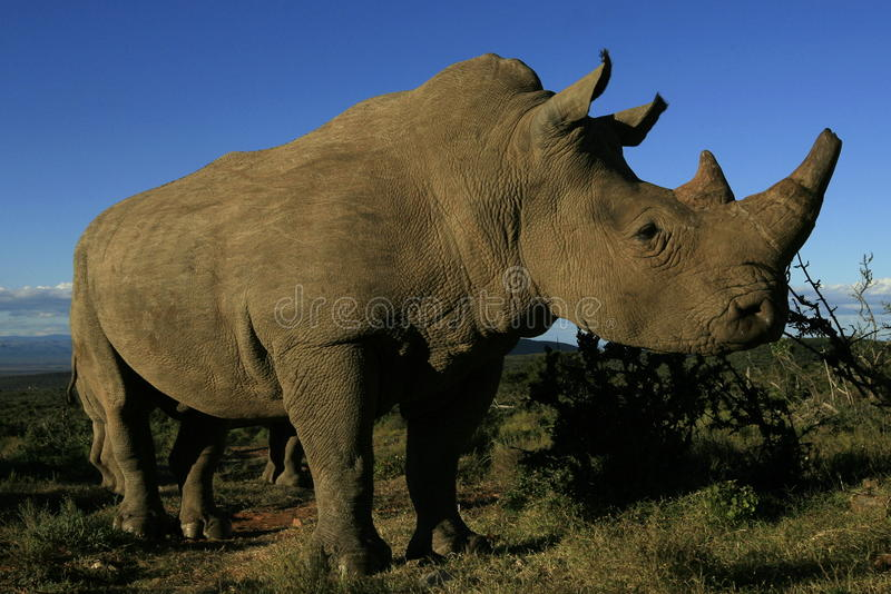 White rhinoceros portrait. A low angle photo of a white rhino, taken close up on a walking safari in South Africa stock photos