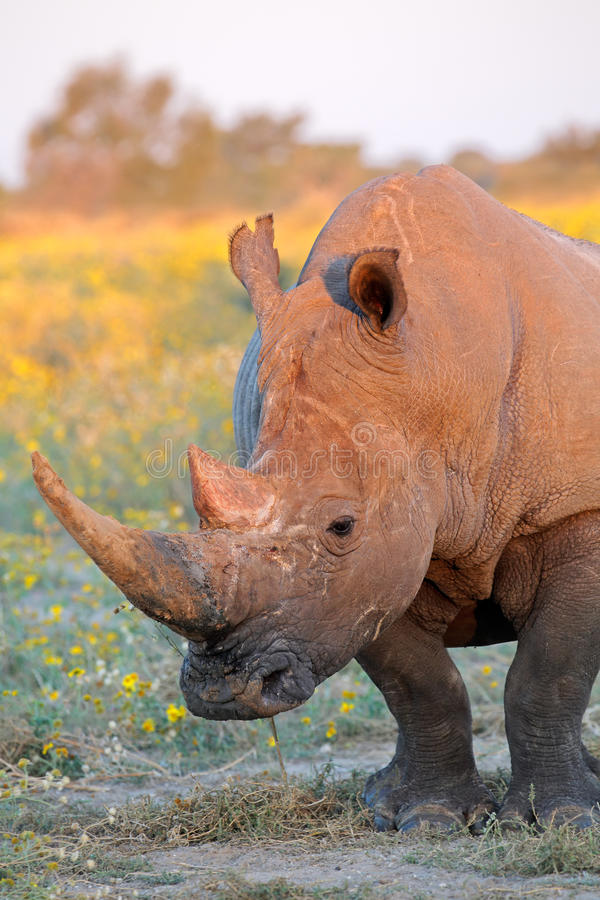 White rhinoceros. Portrait of a white rhinoceros (Ceratotherium simum) in natural habitat, South Africa stock image