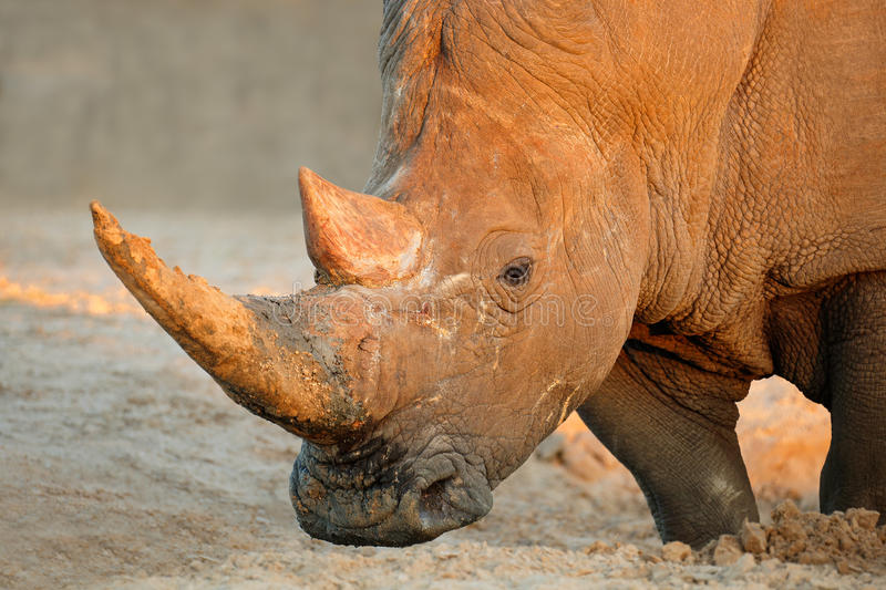 White rhinoceros. Portrait of a white rhinoceros (Ceratotherium simum), South Africa royalty free stock photography