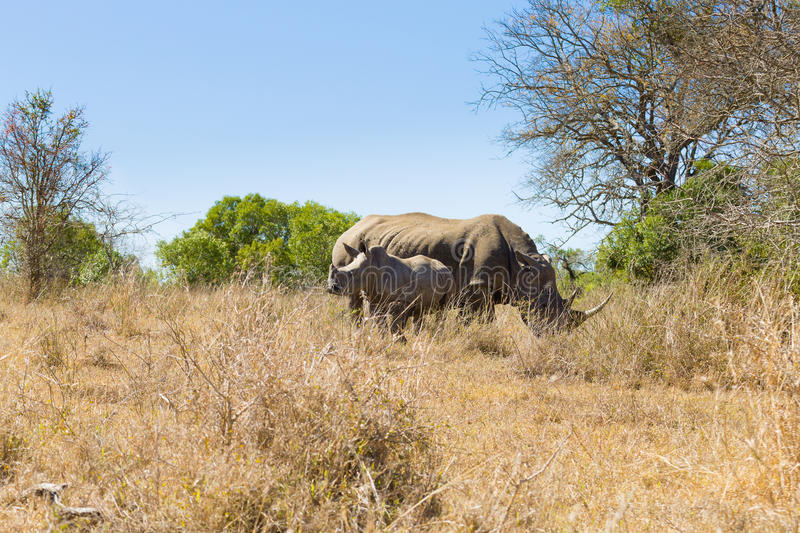 White rhinoceros with puppy, South Africa. White rhinoceros female with puppy, from Hluhluwe–Imfolozi Park, South Africa. African wildlife. Ceratotherium stock photos