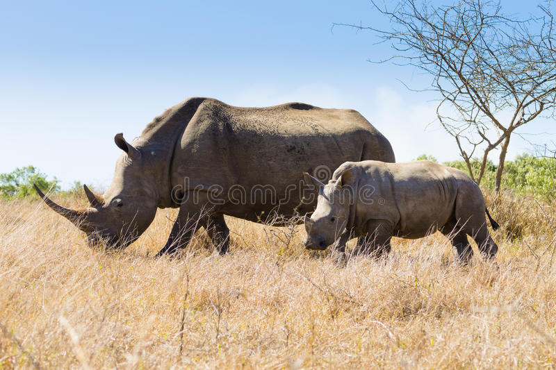 White rhinoceros with puppy, South Africa. White rhinoceros female with puppy, from Hluhluwe–Imfolozi Park, South Africa. African wildlife. Ceratotherium royalty free stock images