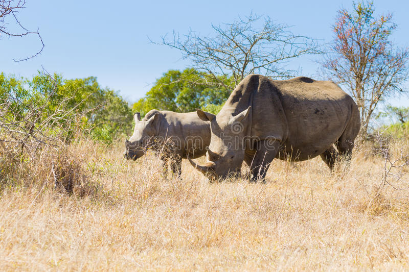 White rhinoceros with puppy, South Africa. White rhinoceros female with puppy, from Hluhluwe–Imfolozi Park, South Africa. African wildlife. Ceratotherium royalty free stock photos