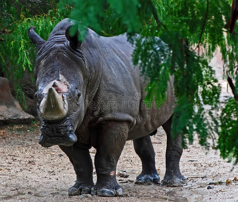 White rhinoceros in rain. A front facing Square-lipped Rhinoceros (White Rhinoceros)(Caratotherium simum) near a tree branch in rain royalty free stock photos
