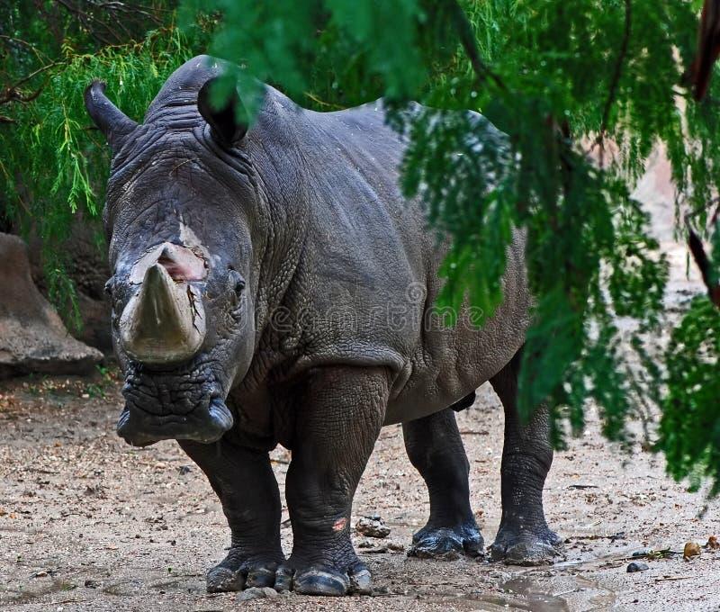 Download White Rhinoceros In Rain Royalty Free Stock Photos - Image: 7464818