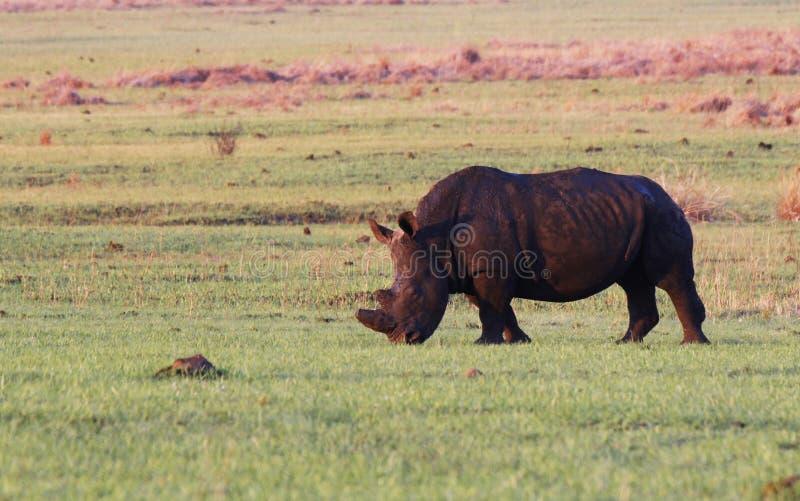 White Rhinoceros Rhino stock image