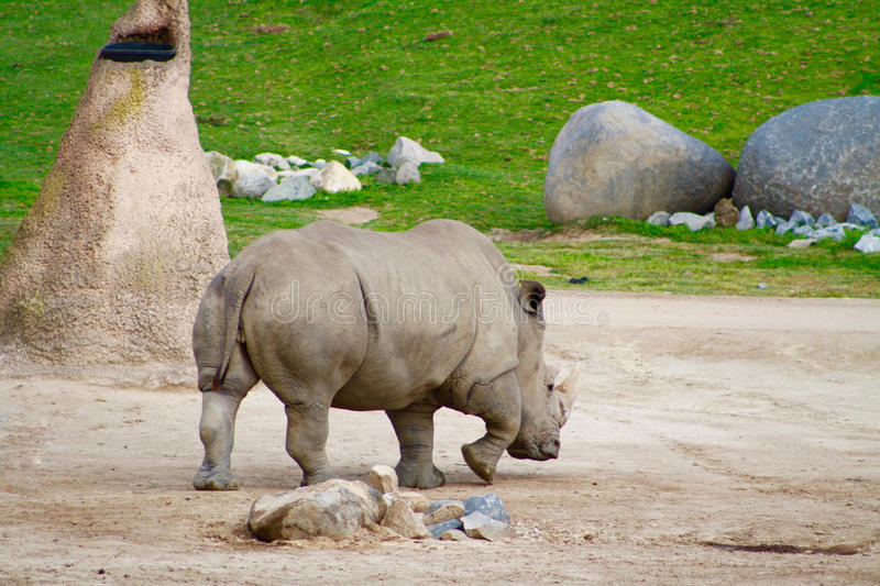 White Rhinoceros. Rhino trotting at San Diego Wild Animal Park in Calfornia royalty free stock images